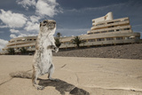 Barbary Ground Squirrel (Atlantoxerus Getulus) Outside Hotel Photographic Print by Sam Hobson