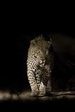 Large Adult Male Leopard (Panthera Pardus) Walking Through the Bush at Night Fotografisk tryk af Christophe Courteau