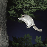 Southern Flying Squirrel (Glaucomys Volans) Landing on Tree Trunk, Captive Photographic Print