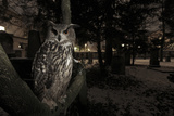 Portrait of Eagle Owl (Bubo Bubo) in Tree at Dusk. Freiburg Im Breisgau, Germany, January Photographic Print by Klaus Echle
