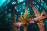 Crinoid (Crinoidea) on Artificial Reef. Mabul, Malaysia Reproduction photographique par Georgette Douwma