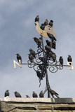 Flock of Starlings (Sturnus Vulgaris) Perched on Weather Vane, Chipping, Lancashire, England, UK Photographic Print by Ann & Steve Toon