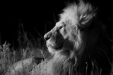 Male Lion (Panthera Leo) , in Infra Red, Masai Mara, Kenya Fotografisk tryk
