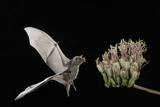 Lesser Long-Nosed Bat (Leptonycteris Curasoae) Flying Photographic Print by Rolf Nussbaumer