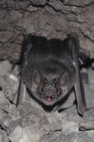 Common Vampire Bat (Desmodus Rotundus) at Roost, Sonora, Mexico Photographic PrintBarry Mansell