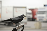 Rook (Corvus Frugilegus) Perched in Motorway Service Area, Midlands, UK, April Photographic Print by Terry Whittaker