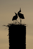 White Stork (Ciconia Ciconia) Pair Displaying Reproduction photographique par  Hamblin
