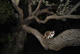 Northern Raccoon (Procyon Lotor) Photographic Print by Rolf Nussbaumer