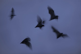 Straw-Coloured Fruit Bats (Eidolon Helvum) Leaving Roost Site at Dusk Photographic Print by Nick Garbutt