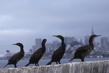 Brandt's Cormorant (Phalacrocorax Penicillatus) with the City of San Francisco in Background Photographic Print by Suzi Eszterhas