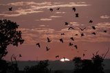 Straw-Coloured Fruit Bats (Eidolon Helvum) Returning to Daytime Roost at Sunrise Photographic Print by Nick Garbutt