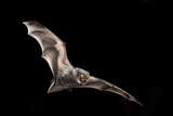 Male Hoary Bat (Lasiurus Cinereus) in Flight Photographic Print by Michael Durham