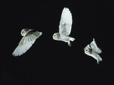 Barn Owl (Tyto Alba) in Flight. Time-Lapse. Captive, UK Photographic Print