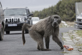 Chacma Baboon (Papio Cynocephalus Ursinus) Eating Food Raided from Car Photographic Print by Michael Hutchinson