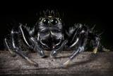 Black Jumping Spider (Salticidae) Fotografisk tryk af Alex Hyde