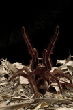 Goliath Bird-Eating Spider (Theraphosa Leblondii - Blondi) Aggressive Display Photographic Print by Daniel Heuclin