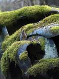 Red Squirrel (Sciurus Vulgaris) Feeding on Moss Covered Car in 'Car Graveyard' , Bastnas, Sweden Photographic Print by Pal Hermansen