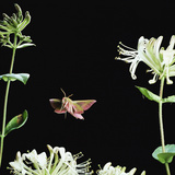 Elephant Hawk Moth (Deilephila Elepenor) Flies to Honeysuckle UK Photographic Print