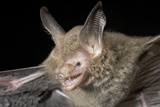 Van Gelder's Bat (Bauerus Dubiaquercus) Portrait Photographic Print by Claudio Contreras