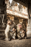 Bonnet Macaque (Macaca Radiata) Females Suckling Babies in Temple, Hampi, Karnataka, India, July Photographic Print by Paul Williams