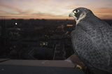 Peregrine Falcon (Falco Peregrinus) Captive Photographic Print by Florian Mã¶Llers