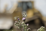 Marbled White Butterflies (Melanargia Galathea) Resting on Thistle Photographic Print by Terry Whittaker