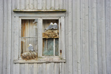 Kittiwake Gulls (Rissa Tridactyla) on an Abandoned House, Batsfjord Village Harbour, Norway Fotografisk tryk af Staffan Widstrand