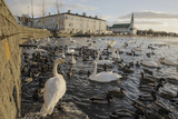 Whooper Swans (Cygnus Cygnus) and Other Waterfowl on Tjörnin (The Pond) Reykjavik Photographic Print by Terry Whittaker