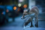 Young Urban Red Fox (Vulpes Vulpes) with Street Lights Behind. Bristol, UK. August Photographic Print by Sam Hobson