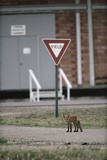 Red Fox (Vulpes Vulpes) Standing in Front of a Road Sign, Denver, Colorado, June Photographic Print by  Shattil & Rozinski