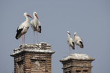 White Stork (Ciconia Ciconia) Breeding Pairs on Chimney Stacks, Spain Photographic Print by Jose Luis Gomez De Francisco