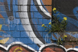 Groundsel (Senecio Sp) Growing Out of Brick Wall Covered in Colourful Graffiti, Bristol, UK Photographic Print by Michael Hutchinson