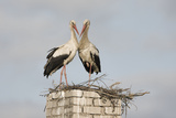 White Stork (Ciconia Ciconia) Pair at Nest on Old Chimney Photographic Print by  Hamblin