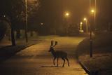 Fallow Deer (Dama Dama) Buck Crossing Road under Street Lights. London, UK. January Photographic Print by Sam Hobson