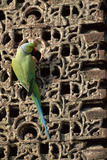 Rose Ringed Parakeet Reproduction photographique