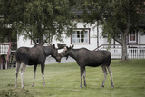 European Moose (Alces Alces) Bulls Near Houses, Nordland, Norway. July Photographic Print by Pal Hermansen