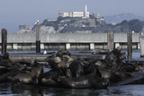 Californian Sealions (Zalophus Californianus) with Alcatraz in Background Photographic Print by Suzi Eszterhas