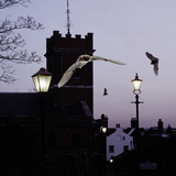 Common Pipistrelles (Pipistrellus Pipistrellus) Flying Round Church Tower. UK. Digital Composite Photographic Print