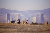 Mule Deer (Odocoileus Hemionus) Photographic Print by Wendy Shattil-Bob Rozinski