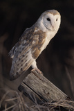 Barn Owl (Tyto Alba) Adult Perched on Fence Post at Dusk, Captive, Scotland, UK, March Photographic Print by Laurie Campbell