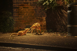 Urban Red Fox (Vulpes Vulpes) Adult Male and Cub on Street. West London UK Photographic Print by Terry Whittaker