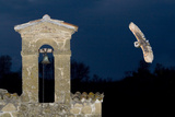 Barn Owl (Tyto Alba) Flying over a Church in Pitigliano, Tuscany, Italy Photographic Print by Angelo Gandolfi
