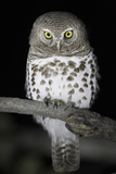 African Barred Owl (Glaucidium Capense) Perched at Night, South Luangwa National Park, Zambia. July Fotodruck