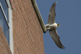 Adult Female Peregrine Falcon (Falco Peregrinus) Taking Flight from the Roof an Office Block Photographic Print by Bertie Gregory