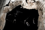 Ghost-Faced Bats (Mormoops Megalophylla) Flying into Cave Through Cave Entrance, Sabinas, Mexico Photographic PrintBarry Mansell
