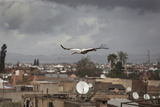 White Stork (Ciconia Ciconia) in Flight over City Buildings. Marakesh, Morocco, March Reprodukcja zdjęcia autor Ernie Janes