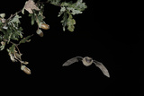 Common Pipistrelle Bat (Pipistrellus Pipistrellus) in Flight at Night Past Acorns and Oak Leaves Photographic Print by Eric Medard