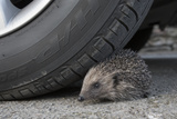 Hedgehog (Erinaceus Europaeus, at Risk by Car Wheel, Controlled Conditions, Captive, England, March Photographic Print by Ann & Steve Toon