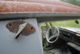 Northern Wall Brown (Lasiommata Petropolitana) Resting in a 'Car Graveyard', Bastnas, Sweden Photographic Print by Pal Hermansen