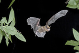 Evening Bat (Nycticeius Humeralis) in Flight with Mouth Open, North Florida, USA Photographic PrintBarry Mansell
